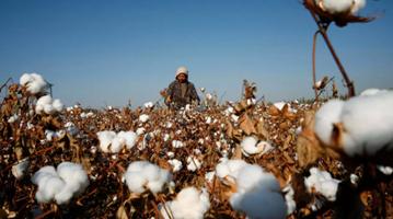 商务部回应新疆棉问题:违背事实 无理打压