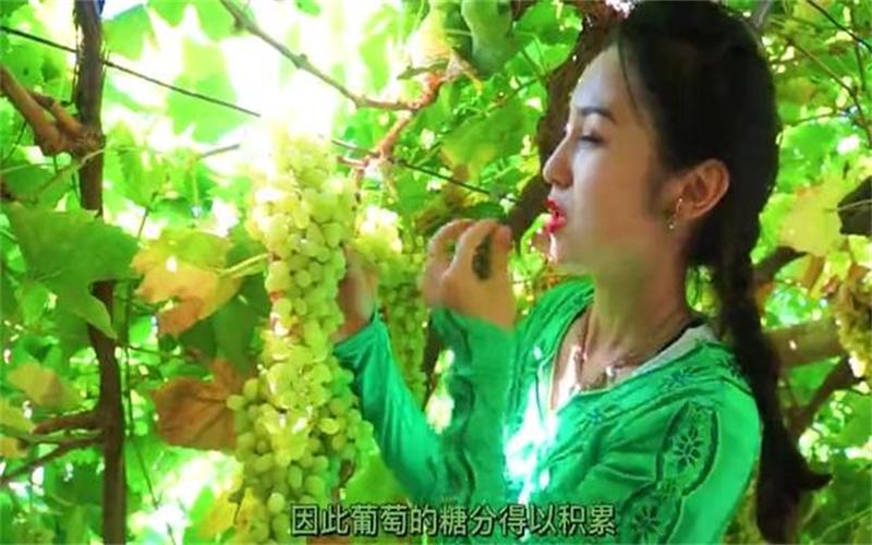 萬人說新疆丨葡萄乾是怎樣煉成的?