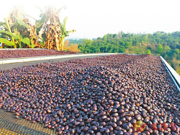咖啡致富   普洱咖啡突围靠精品化 星巴克高价采购